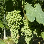 Grappoli di nebbiolo in estate