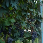 Grappoli di nebbiolo in vendemmia