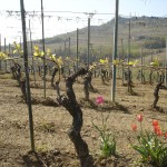 Le vigne in primavera